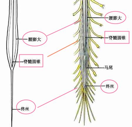 马尾神经结构(图片来源于网络)
