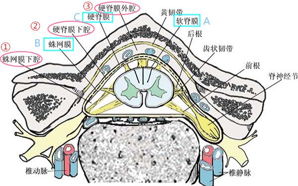 脊髓和椎管的结构(图片来源于网络)