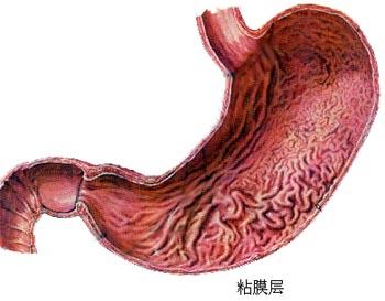 右边是胃吗-与左半肝邻近,右侧与膈邻近,其后壁隔网膜囊与胰腺、左肾上腺、左图片