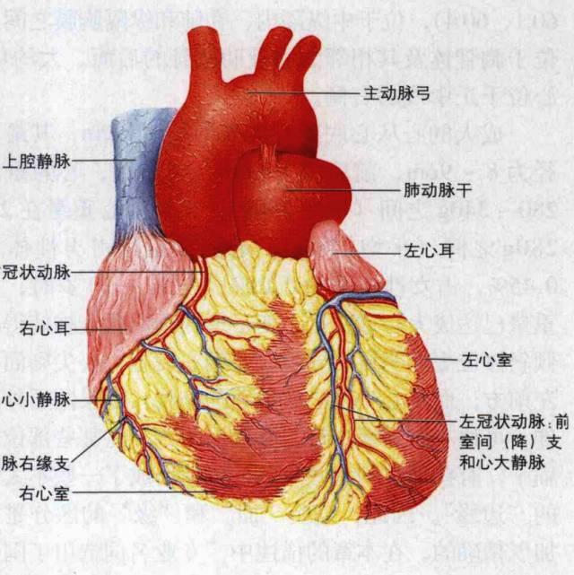 个人主页 医生文章 详情    当了解心脏的基本解剖结构,就诊时就能够