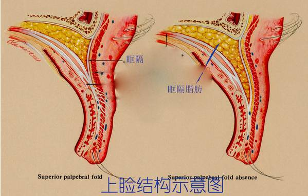 眼部组织结构图