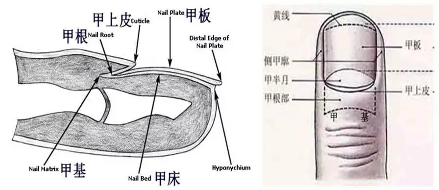 指甲上的半月痕与健康有何关联?图片