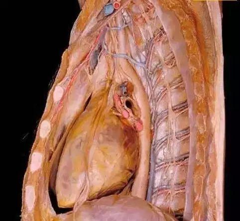 最清晰人体解剖图