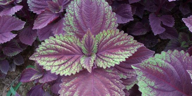 紫苏施用有机肥的种植技术