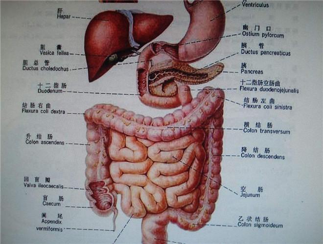 人体五脏六腑解剖图_人体五脏六腑图解_有来医生